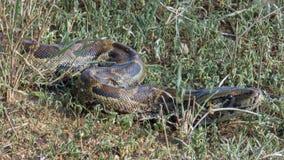 A python snake sneaks in the grass in Tanzania, Serengeti. Pytho. Nidae Stock Photo