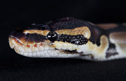 Python snake in studio Royalty Free Stock Images