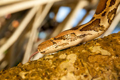 Python Snake wrapped close-up around a branch Stock Photography