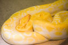 Python snake yellow lying on ground - Albino Burmese python Golden royalty free stock photography