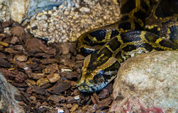 A Python. Snake in a zoo Royalty Free Stock Image