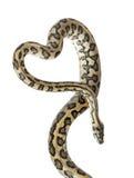 Python, spilotavariegata van Morelia royalty-vrije stock afbeeldingen