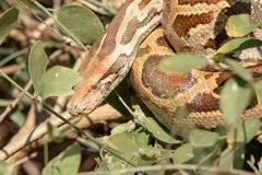 Python taking rest in shrubs royalty free stock photo