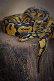 Python on a tree stump. Yellow python on a tree stump Royalty Free Stock Photography