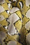 Python uno de las serpientes más grandes del mundo foto de archivo