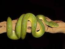 Python vert 8 d'arbre Image libre de droits