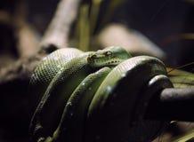 Python vert Images libres de droits