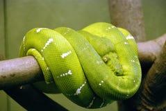 Python vert d'arbre Image libre de droits
