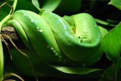 Python vert d'arbre Photo libre de droits