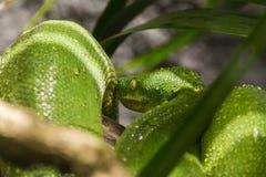 Python vert d'arbre Photos libres de droits