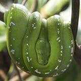 Python vert d'arbre sur une branche Images libres de droits