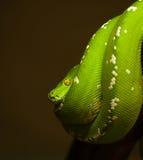 Python vert du sud - viridis de Morelia - en position typique Photographie stock