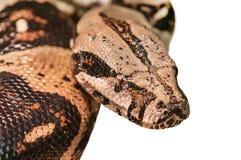 Python vivant sur le blanc Images stock