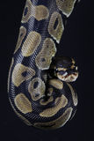 Pythonball-Schlange Stockbilder