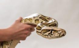 Pythoninae στοκ φωτογραφία