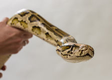 Pythoninae Stock Photos