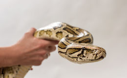Pythoninae Stock Photography