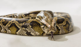 Pythoninae Royalty Free Stock Photo