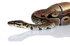 Pythons are not poisonous but can paralyze prey with tight windings Stock Image