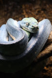 Pythonschlange lizenzfreies stockbild