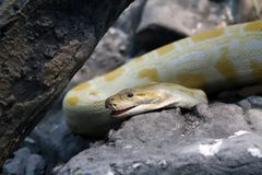 Pythonschlange lizenzfreie stockfotos