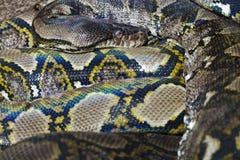 Pythonschlange lizenzfreies stockfoto