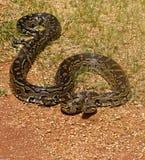Pythonschlange Stockfotografie