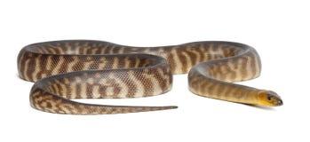 Pythonschlange, Aspidites ramsayi stockfotografie