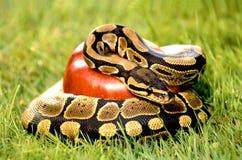 Pythonschlange auf Wiese stockfotografie