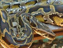 Pythonschlange-Boa constrictor Stockfotos