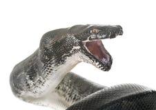 Pythonschlange curtus im Studio lizenzfreie stockfotografie