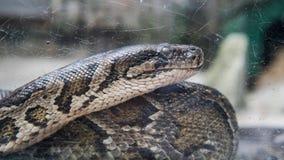 Pythonschlange in der Terrariumnahaufnahme nVietnamese Ho Chi Minh Zoo lizenzfreie stockfotografie