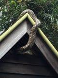 Pythonschlange, die nach einer angenehmen Stelle sucht, um stillzustehen Stockfotos