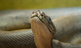 Pythonschlange im Terrarium stockbilder