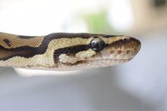 (Pythonschlange königlich) Stockfotografie