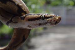 (Pythonschlange königlich) Stockbild