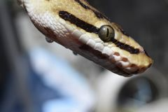 (Pythonschlange königlich) Stockfoto