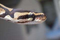 (Pythonschlange königlich) Lizenzfreies Stockbild