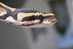 (Pythonschlange königlich) Stockbilder