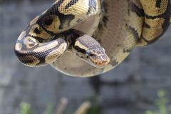 (Pythonschlange königlich) Stockfotos
