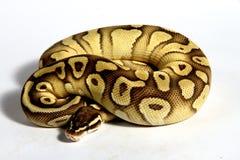 (Pythonschlange königlich) lizenzfreies stockfoto