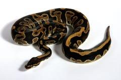 (Pythonschlange königlich) lizenzfreie stockbilder