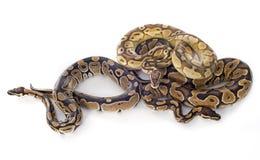 Pythonschlange königlich stockbilder