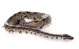 Pythonschlange königlich Lizenzfreie Stockfotos