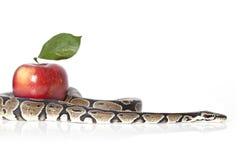Pythonschlange mit rotem Apfel Stockfotos