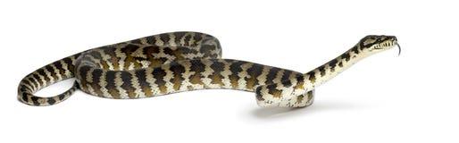 Pythonschlange, Morelia spilota variegata lizenzfreies stockbild