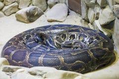 Pythonschlange nach Mahlzeit Stockfotografie