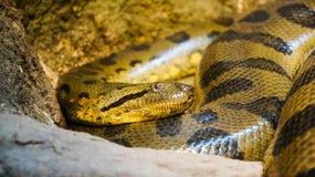 Pythonschlange oben umwickelt stockfotografie