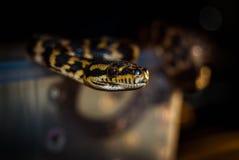 Pythonschlange Prowl Stockbild