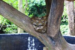 Pythonschlange reticulatus Stockfotografie
